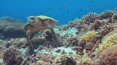 Hawksbill turtle on a colorful coral reef