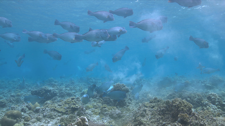 School of Humphead Parrotfishes on a coral reef.