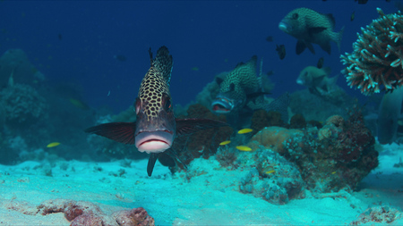 Harlequin sweetlips on a coral reef in Philippines.