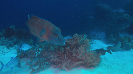 napoleon wrasse: Emperor Snapper, Napoleon and Trevallies hunting on a coral reef.