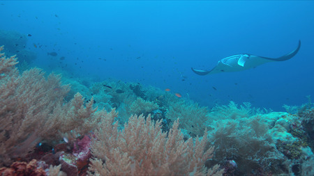 Colorful coral reef with healthy corals and manta ray. 스톡 콘텐츠