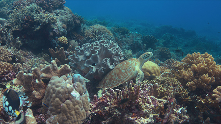 Green sea turtle on a colorful coral reef. Cleaning under a soft coral