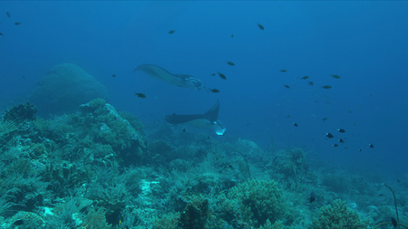 Two manta rays swimming on a coral reef. 스톡 콘텐츠