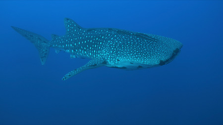 Whale shark swims in blue water. Banco de Imagens