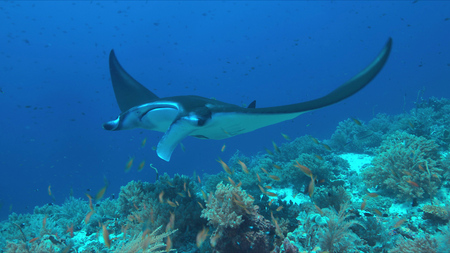 Manta ray swims on a colorful coral reef.