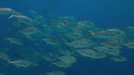 Big-eye Trevallies in blue water.