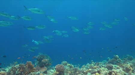 Big-eye Trevallies on a colorful coral reef. 스톡 콘텐츠