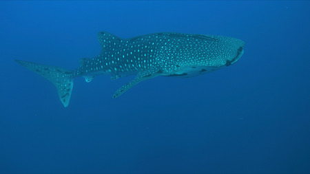 Whale shark swims in blue water. 스톡 콘텐츠