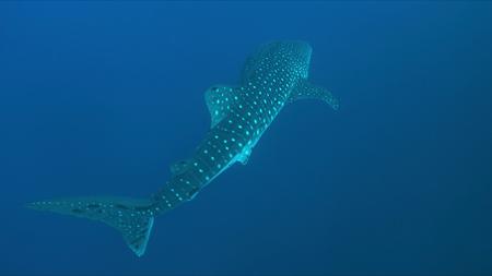 Whale shark swims in blue water. Foto de archivo