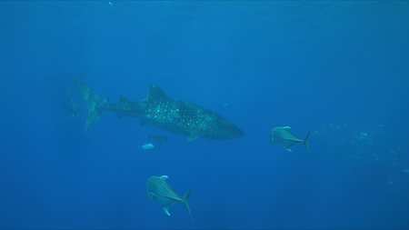 Whale shark swims with a school of trevallies in blue water. Foto de archivo