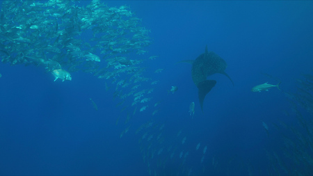 Whale shark swims with a school of trevallies in blue water. Stok Fotoğraf
