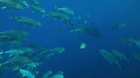 Whale shark swims with a school of trevallies in blue water. 스톡 콘텐츠