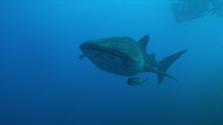 Whale shark swims on a coral reef.