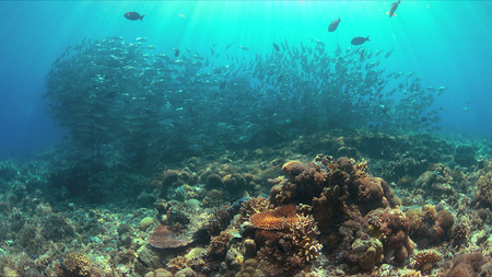 School of big-eye Trevallies on a colorful coral reef.
