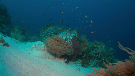 wrasse: Stingray on sandy bottom of a colorful coral reef.