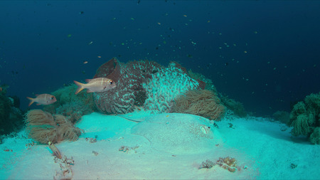 Stingray on sandy bottom of a colorful coral reef.