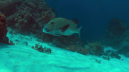 Harlequin sweetlips with a cleaner wrasse on a coral reef in Philippines.