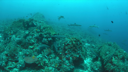 Whitetip Reef Sharks hunting on a coral reef.