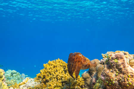 Cuttlefish on a colorful coral reef