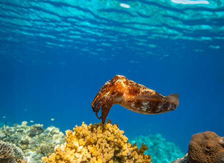 Cuttlefish on a colorful coral reef and the water surface in background Stok Fotoğraf