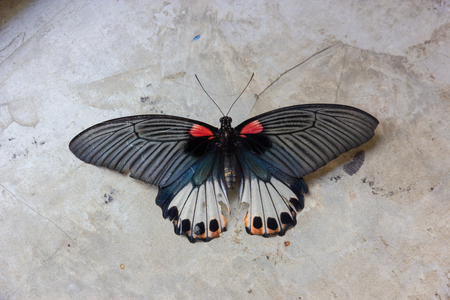 Old Papilio machaon butterfly or Swallowtail butterfly on grey cement  background Stock Photo