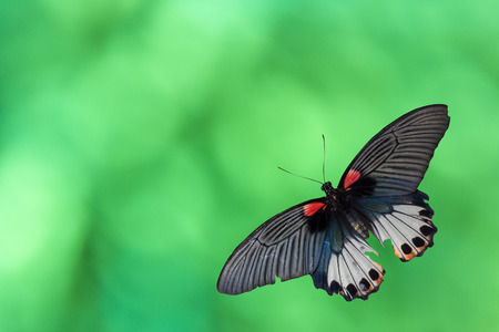 Old Papilio machaon butterfly or Swallowtail butterfly on abstract green boken on background 스톡 콘텐츠