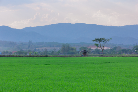 Landscape of Green rice field  with mountain on background 스톡 콘텐츠