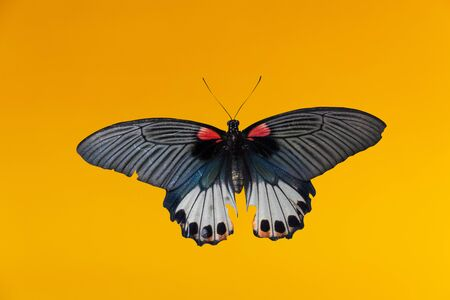 Old Papilio machaon butterfly or Swallowtail butterfly on yellow background 스톡 콘텐츠