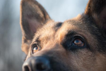 horisontal: Dog breed German shepherd stares, gaze closeup