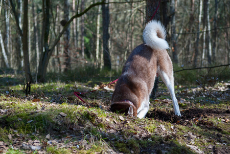red brown husky dog digs a hole