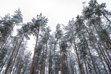 Winter in the pine forest, the view from the bottom up