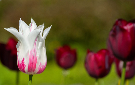 White and Pink Colored Tulip Flower Closeup