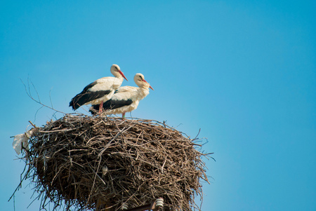 two White Storks on the nest 写真素材