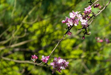 blooming branch of the apple tree