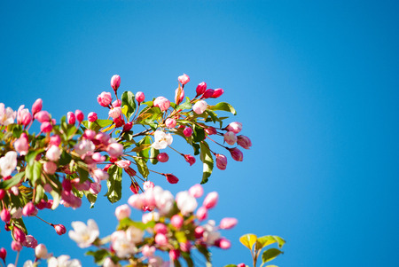 blooming branch of the apple tree against the blue sky Stock Photo