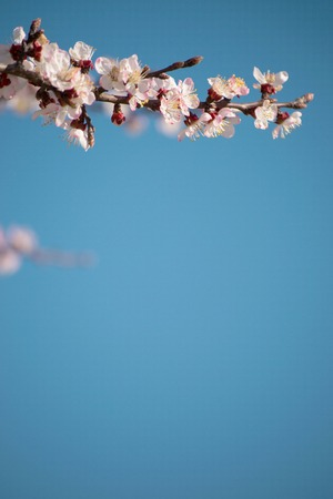 blooming branch of the cherry tree against the blue sky