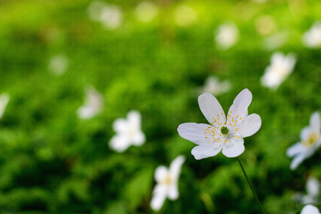 spring bloom of the wood anemones closeup photo