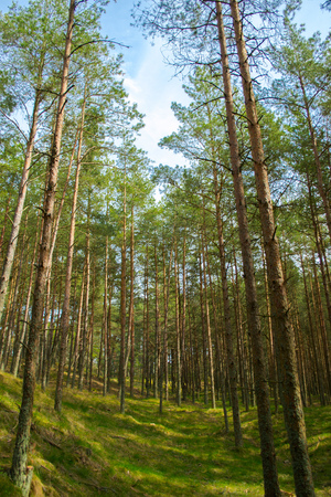 Pine forest of the National Park Curonian Spit