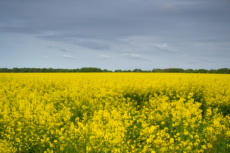 Yellow rapeseed field under the dark sky