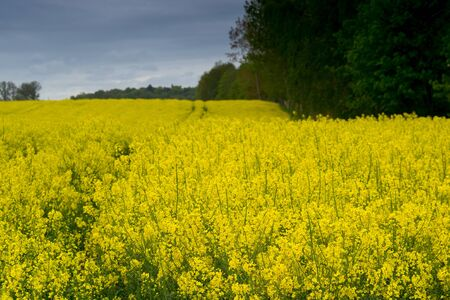 Yellow rapeseed field surrounded by a forest belt Foto de archivo