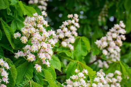 White candles of the blooming chestnut tree among the green leaves. Flowers of Aesculus Hippocastanum