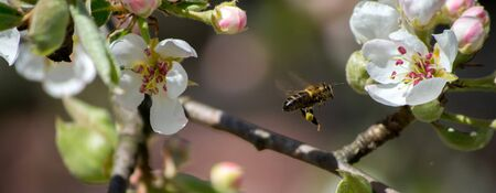 honey bee flies between the flowers of a pear while gathering nectar. pollination of a pear by a bee, closeup photo