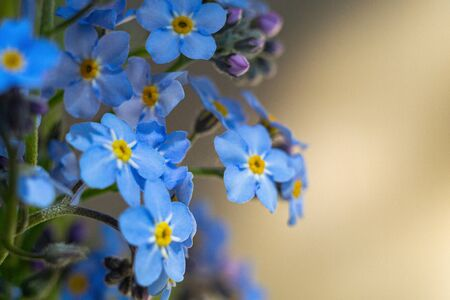 bouquet of forget-me-not flowers closeup, macro photo with a copy space