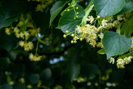 linden tree blossom, close-up photo, summer herbal background with a place for text