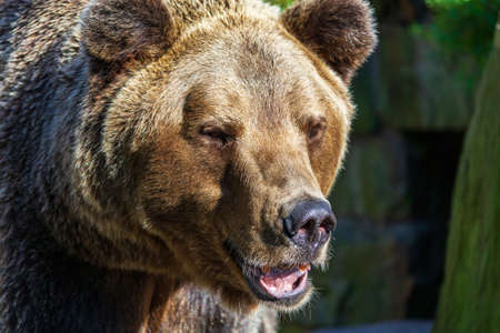 Brown bear - Ursus Arctos - portrait