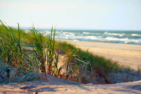 grasses growing on coastal sand dunes