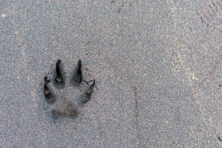 Wolfs - canis lupus - footprint in the sand