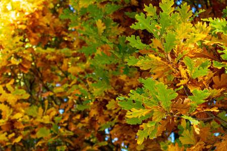 golden leaves on an oak tree in autumn