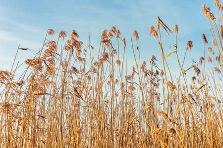 Dry swamp reeds against the blue sky on a sunny evening. Banque d'images