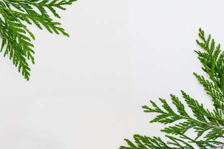 thuja twigs on a white background Banque d'images